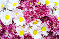 Bouquet of colorful ox-eye-daisy and chrysanthemum flowers Stock Images