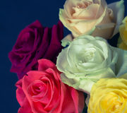 Bouquet of colorful roses with blue background. Close up. Toned effect Royalty Free Stock Images