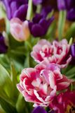 Bouquet of colorful tulips. For background Royalty Free Stock Image