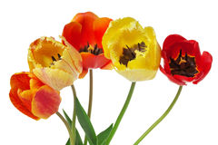 Bouquet of colorful tulips on white background Royalty Free Stock Photo