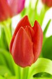 Bouquet of colorful tulips. Stock Photos
