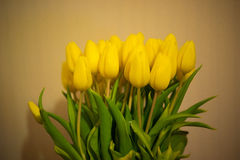 Bouquet of colorful yellow spring tulips. Bouquet of colorful yellow tulips symbolic of spring on a neutral background with a vignette Royalty Free Stock Image
