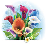 Bouquet of colorfull  Calla lilies Royalty Free Stock Photo