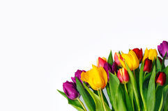 Bouquet of colourful tulips in bottom right corner isolated on white. Royalty Free Stock Photo