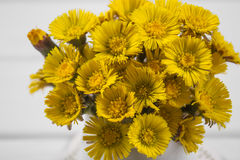 Bouquet  Colts Foot or Tussilago Stock Image