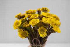 Bouquet  Colts Foot or Tussilago Stock Photo