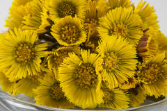 Bouquet  Colts Foot or Tussilago Stock Photos