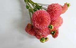 Bouquet of coral dahlias Stock Image