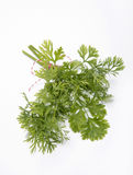 Bouquet of Coriander. On a white background Stock Photography