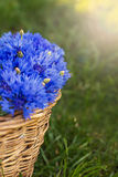 Bouquet of cornflowers. In a basket  on sunshine Stock Image