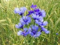 Bouquet of cornflowers. Beautiful blue cornflowers in rye plant background , Lithuania stock photo