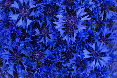 Bouquet of cornflowers Stock Photography