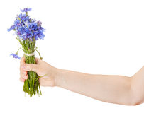 Bouquet of cornflowers in a female hand Stock Image