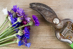 Bouquet of cornflowers Stock Image