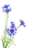 Bouquet of cornflowers Royalty Free Stock Photo