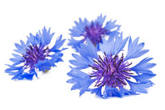 Bouquet of cornflowers Stock Images