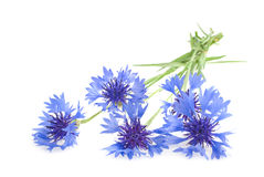 Bouquet of cornflowers Royalty Free Stock Photography