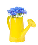 Bouquet of cornflowers in a yellow watering can Royalty Free Stock Images