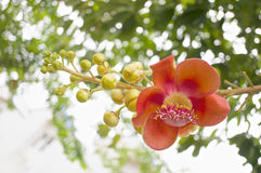 Bouquet of Couroupita guianensis or cannonball flower Stock Images