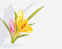 Bouquet of crocuses isolated on light gray backgro stock photos