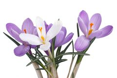 Bouquet of crocuses isolated on a white Royalty Free Stock Photography