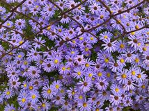 Bouquet d'aster images libres de droits