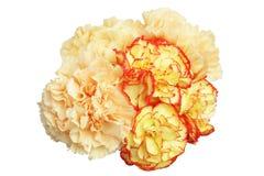Bouquet d'oeillet à un arrière-plan blanc photo stock