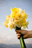 Bouquet of daffodils Royalty Free Stock Photo