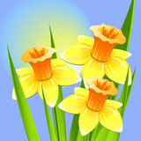Bouquet of daffodils on a blue backgroun Royalty Free Stock Photography