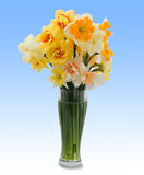 A bouquet of daffodils. blue background Royalty Free Stock Photo