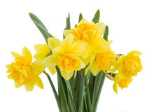 Bouquet of daffodils close up Stock Image