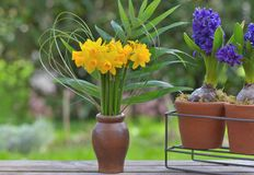daffodils and hyacinth potted on a table in a garden royalty free stock images