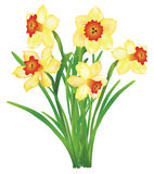 Bouquet of daffodils Royalty Free Stock Image