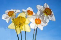 A bouquet of daffodils lit by the sun. Against the blue sky Royalty Free Stock Images