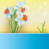 Bouquet of daffodils Royalty Free Stock Images