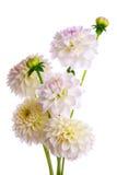 Bouquet of dahlias Stock Photos