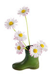 Bouquet of daisies in a boot Stock Photos
