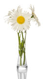 Bouquet daisies in clear glass vase isolated on white background. Royalty Free Stock Photo