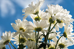 Bouquet of Daisies Stock Image