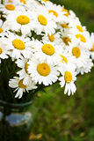 Bouquet of daisies. In the garden Royalty Free Stock Images