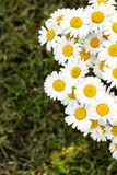 Bouquet of daisies. On the grass Royalty Free Stock Photos
