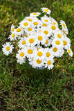 Bouquet of daisies. On the grass Royalty Free Stock Photo