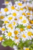 Bouquet of daisies. Pyrethrum Royalty Free Stock Photos