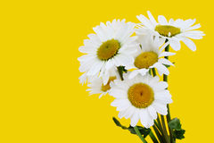 Bouquet of daisies on yellow Stock Images