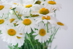 Bouquet of daisy-chamomile flowers Royalty Free Stock Images