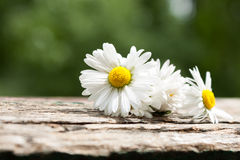 Bouquet of daisy flowers against nature background/ summer garde Stock Photo