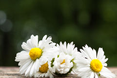 Bouquet of daisy flowers against nature background/ summer garde Royalty Free Stock Image
