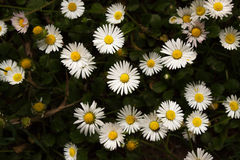 Bouquet of daisy flowers against nature background/ summer garde Stock Image