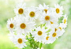 Bouquet of daisy flowers Royalty Free Stock Photos