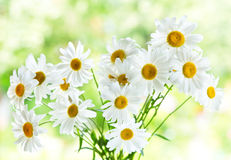 Bouquet of daisy flowers Stock Images